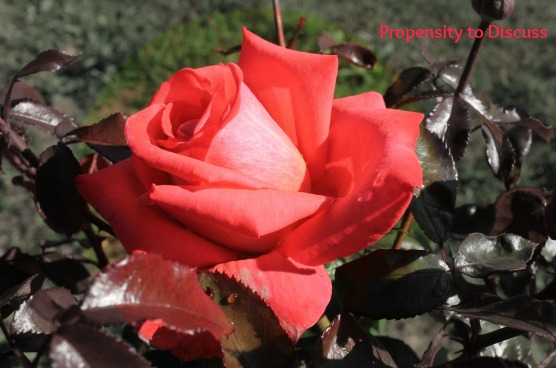 A rose is a rose. Unless it is something so much more...A Propensity to Discuss Post