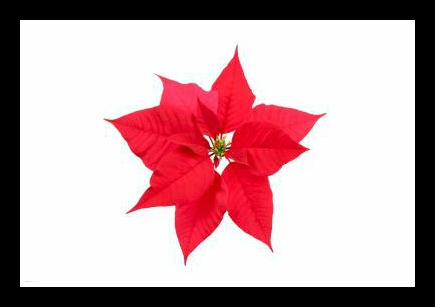 Poinsettia PH Paper. 17 Holiday Science Labs. A Propensity to Discuss post.